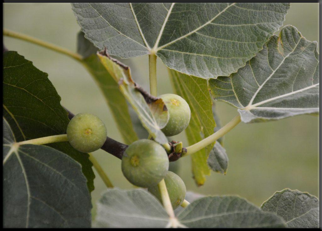Frutti di fine estate: I fichi